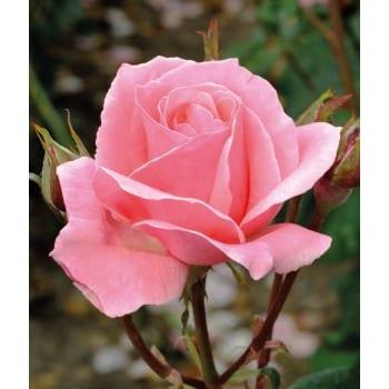 Róża wielkokwiatowa różowa 'Queen Elizabeth'