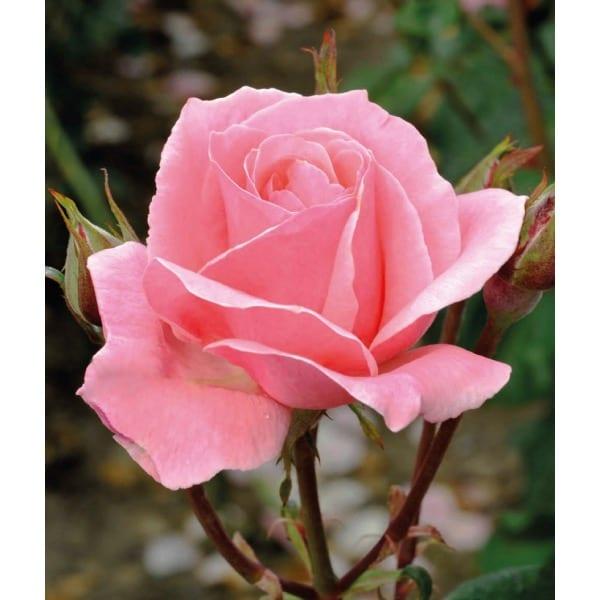 Die Büschel-Rose 'Queen Elizabeth' (Rosa 'Queen