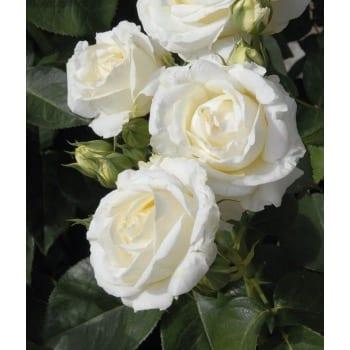 Róża wielkokwiatowa biała 'Chopin'