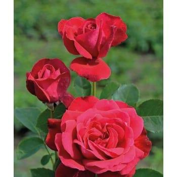 Róża wielkokwiatowa czerwona 'Dame de Coeur'