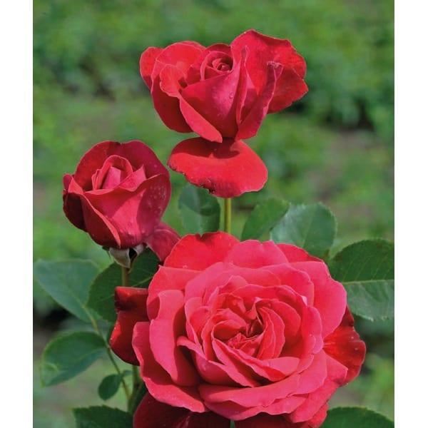 Large-flower rose 'Dame de Coeur' (Rosa 'Dame