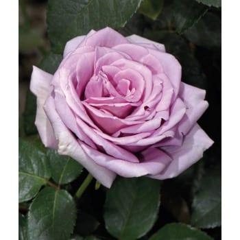 Крупноцветковая роза 'Голубая луна'