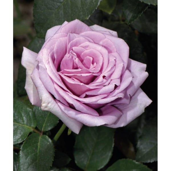 Large blue rose 'Blue Moon'   (Rosa 'Blue Moon')