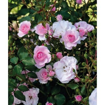 Róża rabatowa różowa 'Bonica'