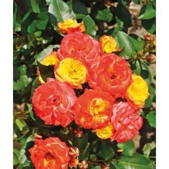 Róża rabatowa żółto-pomarańczowa 'Rumba'