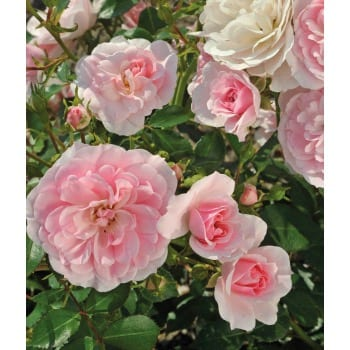 Роза низкорослая 'Корнелия'