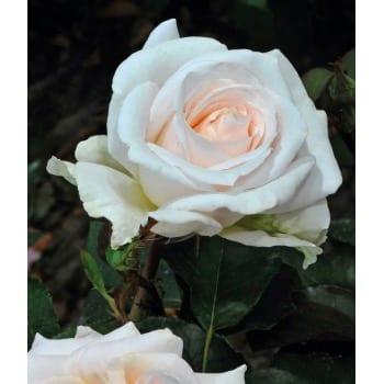 Róża rabatowa biała 'Kristallperle'