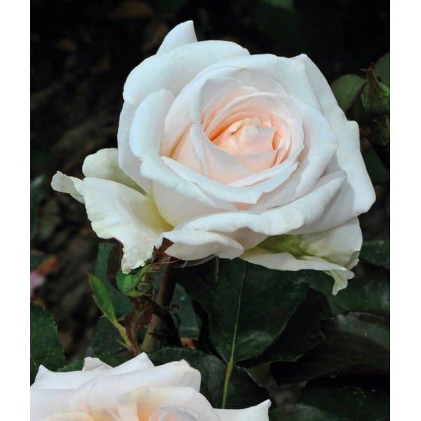 'Kristallperle' discount rose (Rosa