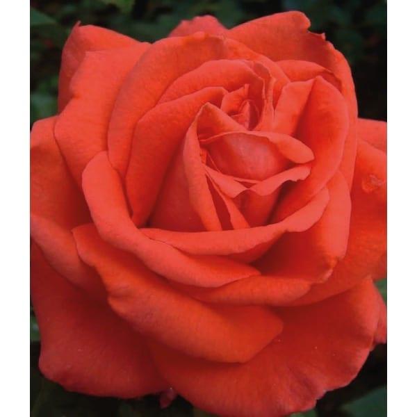 'Ramona' climbing rose (Rosa 'Red Cherokee')