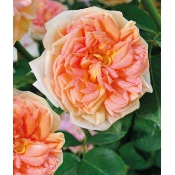 Róża pnąca morelowa 'Alchymist'