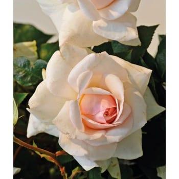 Róża pnąca biała 'Climbing Iceberg'