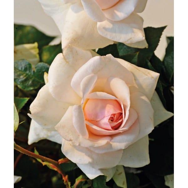 Róża pnąca 'Climbing Iceberg' (Rosa 'Climbing
