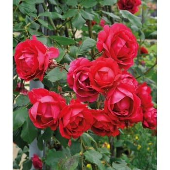 Роза плетистая 'Пол Скарлет'