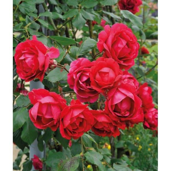 Rose 'Paul's Scarlet Climber' (Rosa 'Paul's