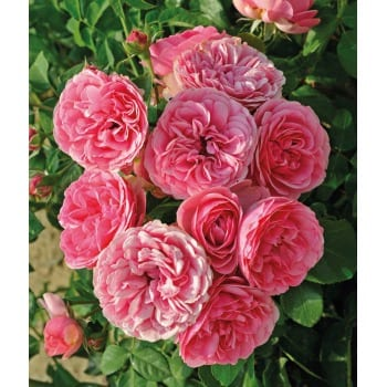 Róża pnąca różowa Rosarium 2L