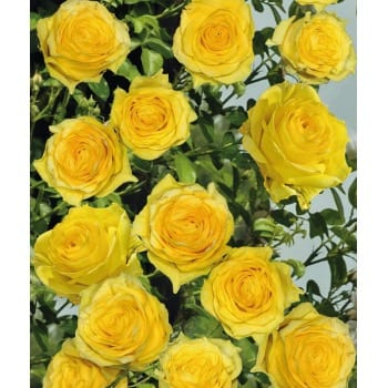 Róża pnąca żółta 'Golden Climber'