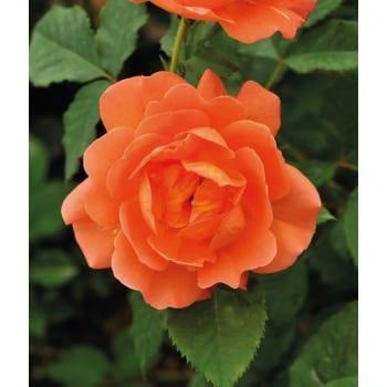 Róża pnąca pomarańczowa 'Cap Horn'