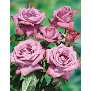 Róża pnąca niebiesko-fioletowa 'Indigoletta'