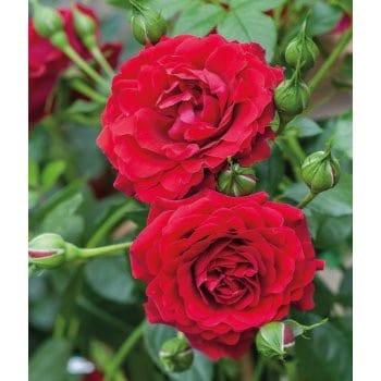 Englische Rose 'rot'