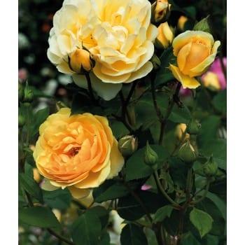 Englische Rose 'gelb'
