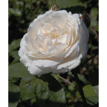 Englische Rose 'weiß'
