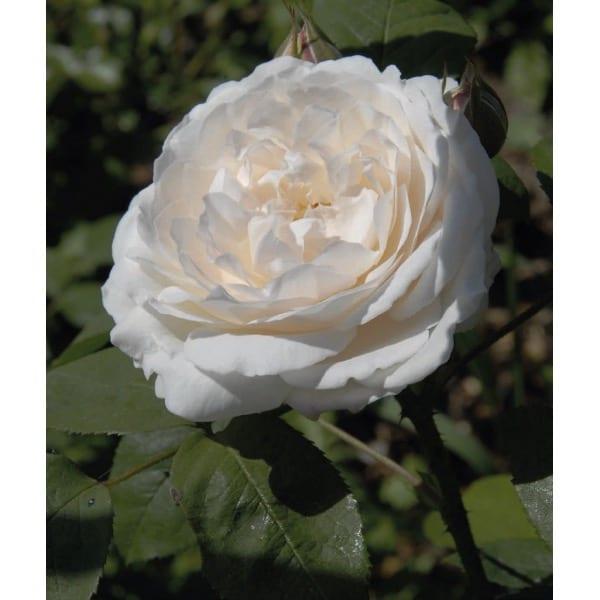 English rose 'White' (Rosa 'White')     General