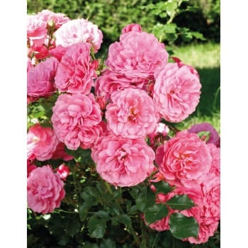 Rose groundcover pink