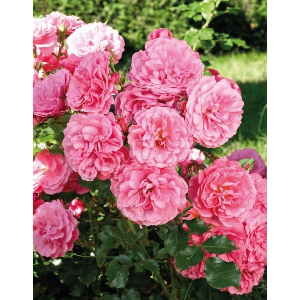 Rose    groundcover pink    (Rosa)     General