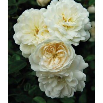Bodendeckende Rose 'White Fairy'