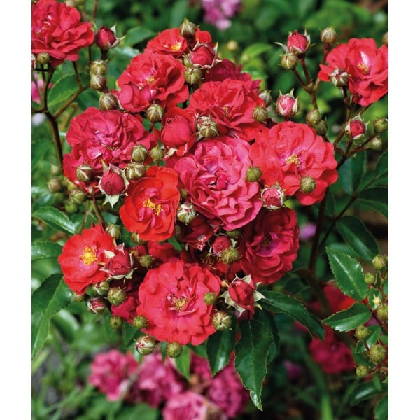 R ose landscape spreading (Rosa)       General