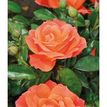 Róża rabatowa pomarańczowa 'Orange Passion'