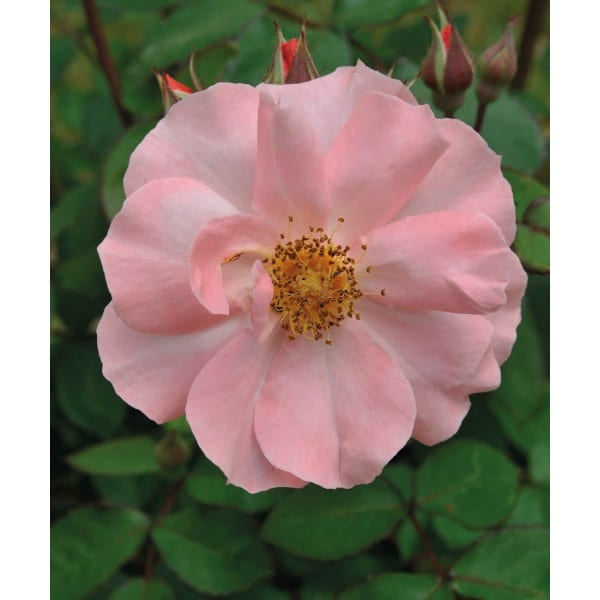 Rose wrinkled (Rosa)     General description: