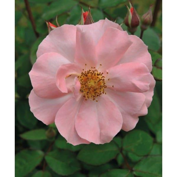 Роза морщинистая (Rosa)    кустарник, обычная