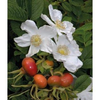 Róża jadalna biała