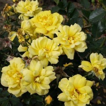 Róża rabatowa żółta 'Allgold'
