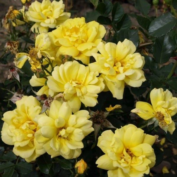 Róża rabatowa żółta 'Allgold'       Odmiana o