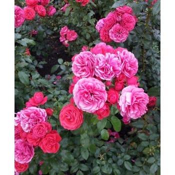 Róża parkowa różowa