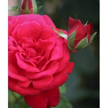 Róża parkowa czerwona