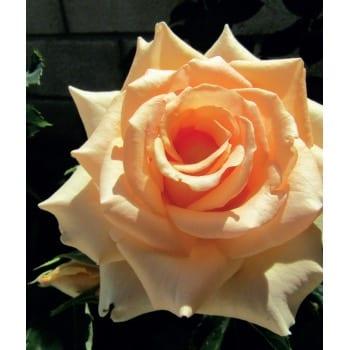 Róża wielkokwiatowa kremowa 'Casanova'