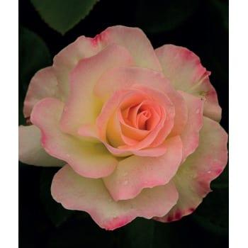 Róża wielkokwiatowa różowo-biała 'Desse'
