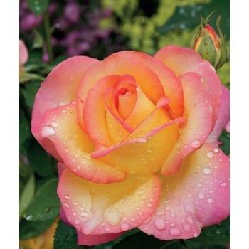 Róża wielkokwiatowa różowo-kremowa 'Peace'