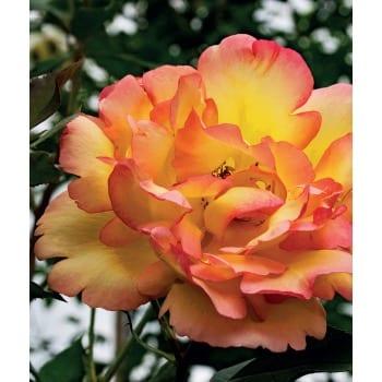 Róża parkowa pomarańczowa