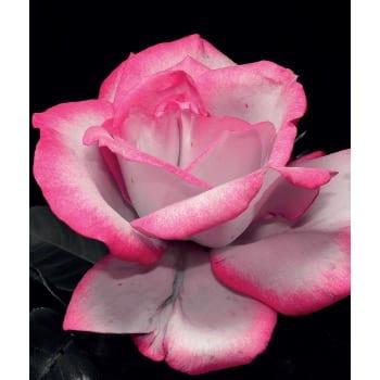 Róża pnąca biało-malinowa Haendel