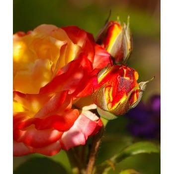 Róża pnąca żółto-pomarańczowa Climbing Rumba