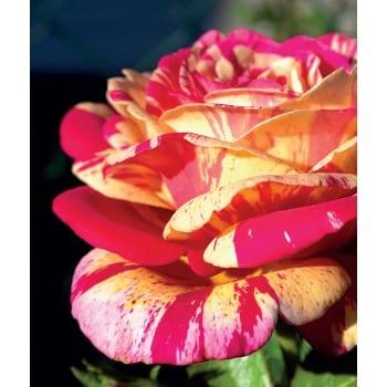 Róża wielkokwiatowa Harry Wheatcroft