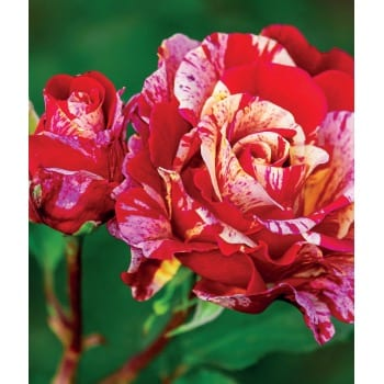 Rose Morinaye 2L