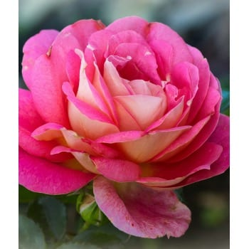 Róża wielkokwiatowa czerwono-biała Gaujard