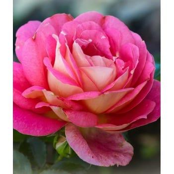 Rose Gaujard 2L