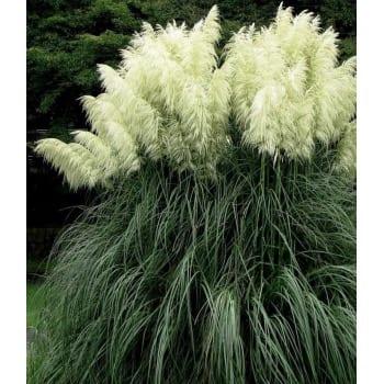 Пампасная трава Виттэ Плюим 1L