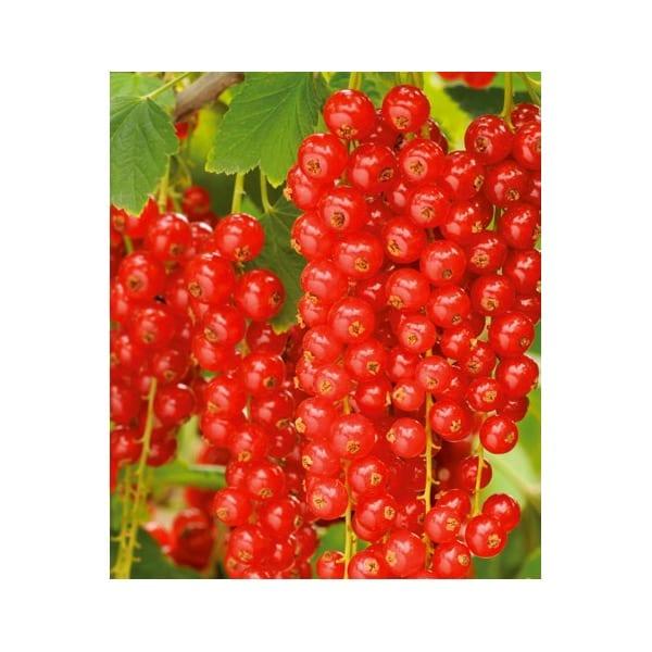 Porzeczka czerwona 'Rovada'      (Ribes rubrum